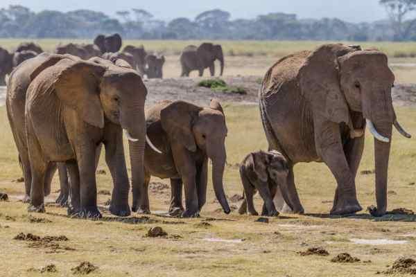Linguaggio degli elefanti: la mandria