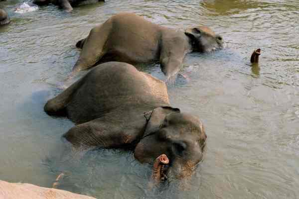 Elefanti che fanno il bagno