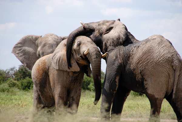 Language Elephants